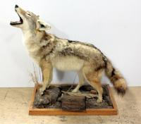 "Taxidermied Coyote on Wood Base 32""W x 38""H x 16""D"