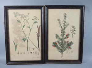 Large Hand Colored Botanical Lithographs, Circa 1820s, Framed, Qty 2