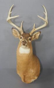 "Taxidermied 8-Point Deer Head, Approx 47"" Long"