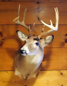 Taxidermy 12 Point White Tail Deer Wall Mount, Taken In Henry County, MO
