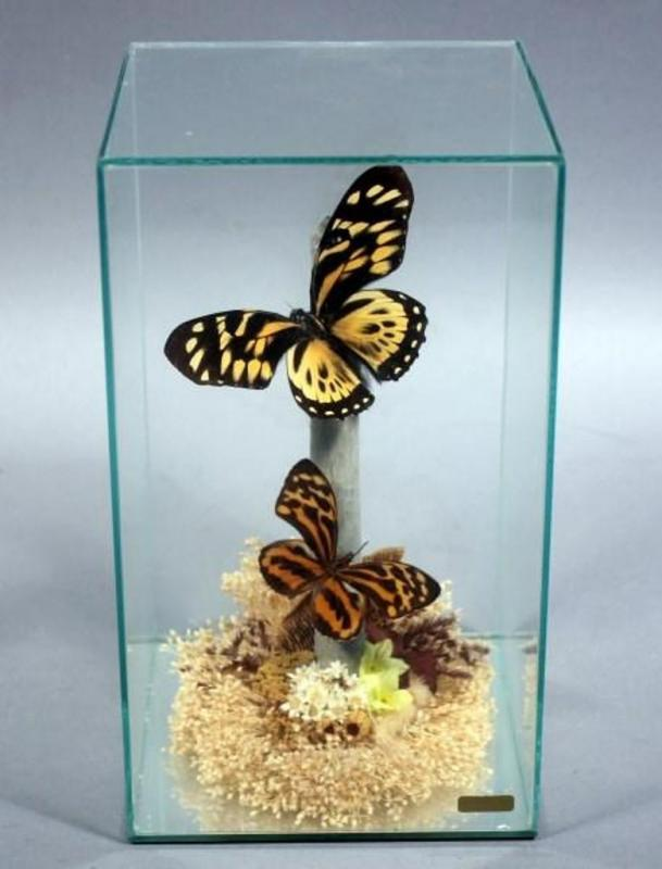 Butterfly Diorama in Display Box 9 5