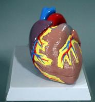 Life-Size Anatomical Anatomy Heart Model Labeled with Numbers